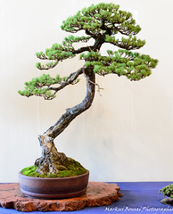 DSC_7072 (Markus Bonsai) Tags: world club deutschland bonsai mannheim markus bcd ausstellung 2014