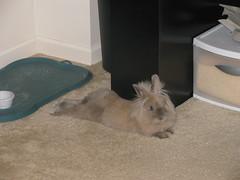 Roy (Pinky Earl) Tags: brown rabbit bunny conejo tan fluffy coelho bun usagi lionhead coniglio