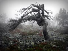 Pain (Joksapoksa) Tags: tree fog pain scary cloudy foggy atmosphere ylläs kuertunturi