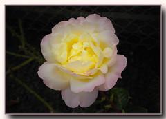 Rose ... Gloria Dei´... (Kindergartenkinder) Tags: rose blume kindergartenkinder gloriadei´