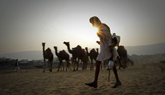 flare from the sun ([s e l v i n]) Tags: morning sun india camel lensflare flare rays pushkar camels herd rajasthan herder pushkarfair indiantourism indianimages indiantour pushkarmela picturesfromindia pushkarfair2014 picturesfrompushkar picturesfromrajasthan selvin pushkarmela2014