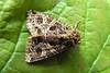 2166-P1040699 The Campion (Hadena rivularis) (ajmatthehiddenhouse) Tags: moth kent uk garden stmargaretsatcliffe 2014 hadeninae noctuidae thecampion campion hadena rivularis hadenarivularis
