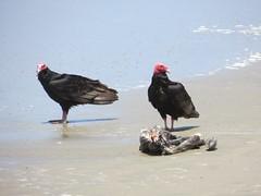 Gieren op het strand