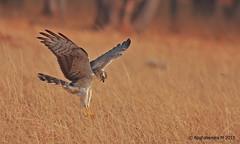 Montagu's Harrier (Circus pygargus) (mragu) Tags: india bird bangalore karnataka harrier 400mm montagusharrier circuspygargus bengaluru canonef40056l 40d 400mmf56 canon40d raghavendram raghavendramayagundi