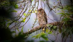/ Spot-bellied Eagle Owl (bambusabird) Tags: bird nature forest canon thailand rainforest natural wildlife owl tropical chiangmai oriental eagleowl chiangdoa bambsabird