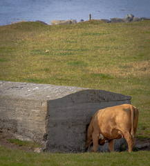 Daisy? Are you in there? (Sten Dueland) Tags: cow bunker jren obrestad