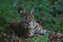 Lynx sticking out his tongue! (vil.sandi) Tags: tongue germany nationalpark bayrischerwald eurasianlynx lynxlynx eurasischerluchs