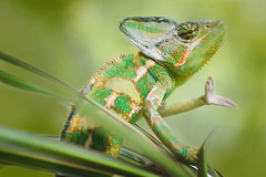 Filosofer (Tomas.Kral) Tags: color green nature beautiful animal canon studio photography 50mm dof bokeh chameleon strobe onelight speedlite beautydish strobist yongnuo 5dmarkii filosofer yn560ii