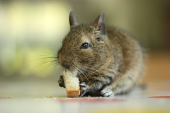 Degu (L&P21) Tags: pet pets cute beautiful animal animals photography degu degus petphotography octodon eos550d