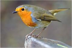 Robin in Dunkeld (eric robb niven) Tags: nature robin scotland rivertay dundee wildlife dunkeld wildbird ericrobbniven pentaxk50