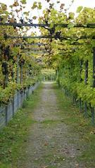 Weintrauben (www.die-letzte-crew.de) Tags: bodensee 161002 weintrauben