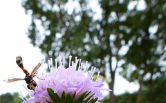 ............ (four-hearts) Tags: blume blüte insekt tier natur landschaft rosa grün pflanzen bäume wiesenblume ackerwitwenblume nähkisselchen kardengewächs wiesenwitwenblume geisblattgewächs sommer
