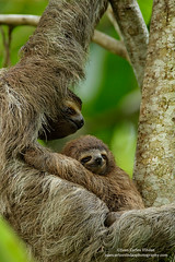 Three-toed Sloth with baby (www.juancarlosvindasphoto.com) Tags: costarica juancarlosvindas centralamerica nature wildlife landscape frog amphibian birds birdphotography photographer photos pictures stock fulllength nobody frontalview sideview outdoors mammals endemic reptiles portraitmode portrait large small aves colibries colibris hummingbird canon multiflash gear tropical rainforest cloudforest tropicaldryforest protected workshop tour expedition unique cute waterfall green forest poisonous rightsmanaged rm getty treefrog leaffrog landscapes ecuador distinctive endangered animalsinthewild birdwatching biology biodiversity multicolored animal toucan wildanimals tropicalbirds neotropicwildlife neotropicbirds threetoedsloth baby animalthemes animalsandbabies animalsandtheiroffspring slothsleeping animalsleeping animalasleeped