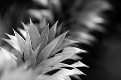 Monkey Puzzle (Pittypomm) Tags: monkey puzzle tree bw monochrome spikey leaves westonbirt arboretum