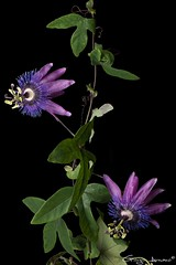 Passiflora Amethyst (Giorgio Armano) Tags: passiflora amthyst coerulea fiore focus flower fiori helicon nikon macro