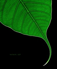 The Edge is LIGHT - Explored # 2             - MM - (Theme-Edge) - 17th Oct. 2016 (LOVE.OVER.LUST.) Tags: mm macromondays hmm edge rimlines backlit backlight minimalism leaf green veins copyspace ficusreligiosa ficus blackbackground verticalcomposition pattern organicpattern againstthelight sacredfig pippaltree bodhitree buddha hinduism peepaltree figtree curve curvedleaf explored