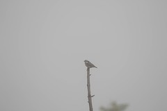 7K8A1720 (rpealit) Tags: scenery wildlife nature stokes state forest sunrise mountain redbreasted nuthatch bird fog