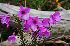 pretty pink (Blue Mtns. bush girl) Tags: tetratheca ericifolia australian native plant flower pink blackeyedsusan