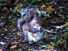 Westport Squirrel (Alan FEO2) Tags: animals squirrels grey tail fur ears paws claws westportlake staffordshire eating panasonic dmc g1 2oef