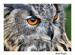 Eagle Owl (coulportste) Tags: widnes eagle feathers