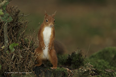 Red Squirrel (Louise Morris (looloobey)) Tags: aq7i0216 redsquirrel scotland september2016 sunlight gordon hide woodland moss bank