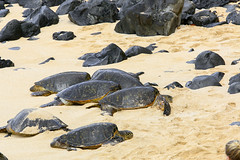 Sea Turtles (milepost430media.com) Tags: turtle sea seaturtles beach nest rest lazy sun sand ocean park paia hawaii reptiles shell tortoise dslr 70d wave water pacific maui hana