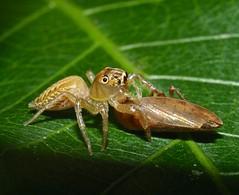 Jumper catches hopper P1120856 (Steve & Alison1) Tags: amber cream brown jumper spider salticidae captured plant hopper airlie beach rainforest