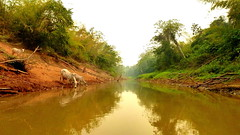 Drink Me a River (Eye of Brice Retailleau) Tags: animal animaladdiction animals beauty colourful colours composition earth extrieur fauna nature outdoor scenery scenic wild green cow water waterscape reflection reflet landscape paysage panorama eau calme rivire river stream rainforest forest trees amazonian amazon wow