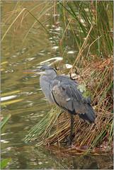 Elegance (Mabacam) Tags: 2016 surrey rhs royalhorticulturalsociety wisley wisleygardens garden nature pond bird heron reeds water