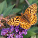 Veriegated Fritillary