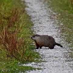 Odd Couple Quatro (Digital Aviary) Tags: greatblueheron woodchuck ottawanationalwildliferefuge birding