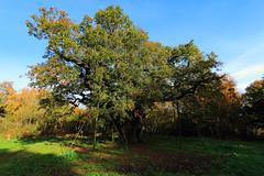 The Major Oak (Richard Brothwell) Tags: majoroak sherwoodforest robinhood tree oak nottinghamshire canonefs1022mmf3545usm efs1022mmf3545usm canoneos70d richardbrothwell canon70d autumn trees oaktree sherwoodforestcountrypark themajoroak
