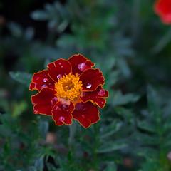 Rain Drops n Petals... (zoomclic) Tags: canon closeup colorful flower foliage red rusty green yellow orange outdoors nature raindrops tse90mmf28 5dmarkii garden dof bokeh zoomclicphotography saveearth