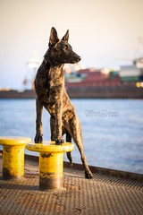 AHOI! (Maria Zielonka) Tags: hund hunde dog dogs hollandse herder herdershond holländischer schäferhund dutch shepherd kooiker kooikerhondje heimat hafen hamburg port mariazielonkafotografie photography outdoor