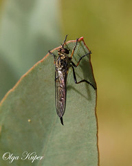 Robber Fly (kuper5) Tags: robber fly