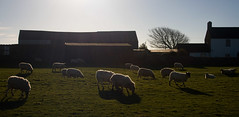sheeps (Caerphilly Keeper -AKA Nick) Tags: cardiff outdoor group ogmore st brides south wales coast winter sunshine