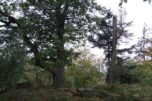 Oldest tree in Baden-Baden, 16.09.2011.