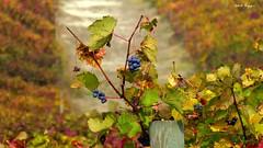 Acini d'uva sopravvissuti alla vendemmia