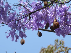 Jacaranda blossom and seed pods (prondis_in_kenya) Tags: kenya nairobi shortrains jacaranda blossom bloom flower purple tree seed pod