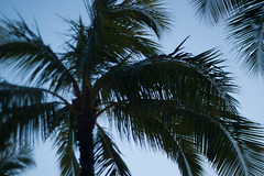 Palm tree (daniellih) Tags: 2016 october oahu hawaii freelensing freelens freelancer freelense waikikibeach waikiki beach palmtree palm tree leaves sky dusk sunset island tropics tropic tropical