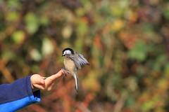 feeding from hand (firooz_t) Tags: bc bird birds sparrow feeding hand nature surrey canada wild life canon t3
