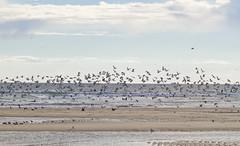 Gulls LIfting (brucetopher) Tags: beach lowtide water ocean sea shallow sandbar clouds sky skies cloudy cloudscape bird birds seabirds gull gulls seagulls fly flight flying flock coast coastline coastal seacoast