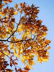 Autumn tree (EvelienNL) Tags: autumn fall herfst tree trees leafs leaves colourful coloured bright sunny sunshine sunlight boom bomen bladeren herfstbladeren herfstkleuren herfstblad zonlicht zonnig bluesky yellow geel gele orange oranje branch oak redoak championoak northernoak quercusrubra amerikaanseeik eik sooc