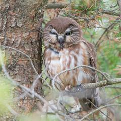 Petite Nyctale - Aegolius acadicus - Northern Saw-whet Owl (Anthony Fontaine photographe animalier) Tags: