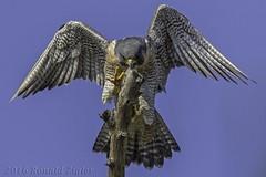 """Getting a grip"" Peregrine Falcon IMG_5039 (ronzigler) Tags: peregrine falcon raptor bird birdwatcher nature avian sigma 150600mm canon 60d falco peregrinus"