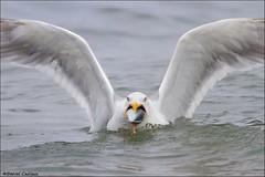 Gull-uttonous Herring Gull!! (Daniel Cadieux) Tags: gull herringgull eat eating devour devouring mackerel fish hungry ocean atlanticocean gulp swallow swallowing novascotia capebreton