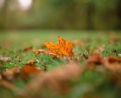 Poplar Orange (Sassenach5) Tags: pentax67 pentax 6x7 120 film analog provia fujifilm fujichrome 100f 105mm f24 smctakumar takumar smc mediumformat slide transparency reversal chrome fall autumn leaves poplar