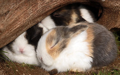 rabbit Ouwehands JN6A7116 (j.a.kok) Tags: ouwehands ouwehandsdierenpark ouwehandszoo konijn rabbit