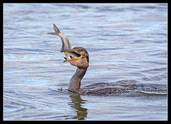 More than a Mouthful... (DTT67) Tags: cormorant birds swallowing fishing fish maryland susquehanna conowingo canon 1dxmkii funny