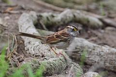 White-throated Sparrow, Sand Dune Park (Junco & roBin) Tags: whitethroatedsparrow sanddunepark birdwatching losangelescounty california